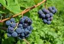 Uzmanību! 20. Sabiles Vīna svētku  RADOŠĀ KOMANDA MEKLĒ PAPILDSPĒKUS!