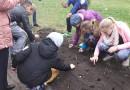 Sabiles pamatskolas dāvana Latvijai – tulpju dobe