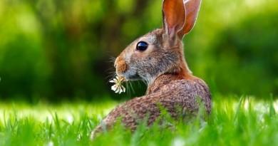 Sabilē, 21.aprīlī plkst. 12.00 pļavā Zem vītoliem Lieldienas Zaķa gaumē