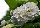 Lūgums ziedot puķes Sabiles Vīna svētku rotāšanai
